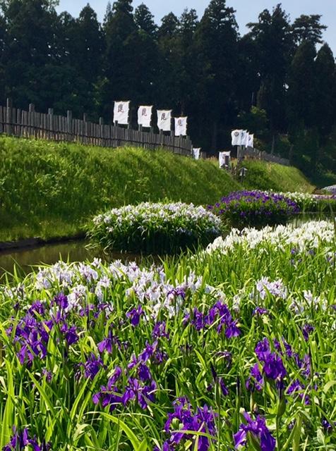 春日山城史跡広場のカキツバタ